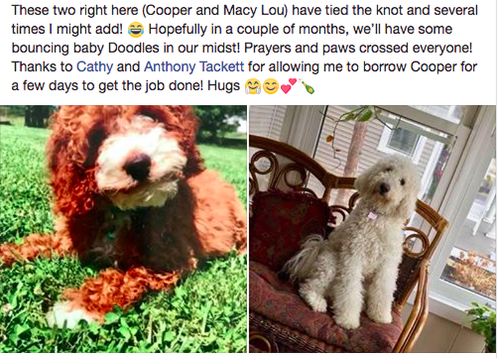Looking Forward To What We Hope Be An Early December Litter Between Macy And Cooper So Stay Tuned Follow Abby Dabby Doodles On Facebook For All The Up